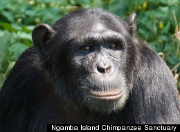 How smart? The intelligence of apes like the chimp Natasha can't be predicted with a single test, researchers say.