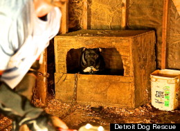 Nine pit bulls were rescued in a raid of a marijuana growing operation in Detroit on Tuesday, Sept. 4.