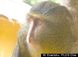 An adult male lesula, a newly-identified monkey species native to a limited area of central Democratic Republic of Congo