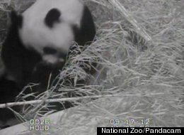 Mei Xiang, as seen on the pandacam, last week.