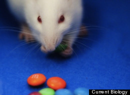 An opium-like brain chemical prompts rats to gorge on chocolate treats like M&Ms, new research in 'Current Biology' shows.