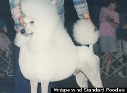 Whisperwind Standard Poodles