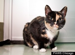 Rubie, a 1-year-old Calico, is one of many Chicago-area rescue pets in need of forever homes.