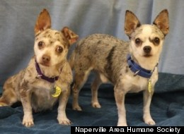 Nobody stands between her and her man. Mr. and Mrs. Jones, a pair of 4-year-old Chihuahua Mixes up for adoption in the Chicago area.