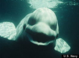 This male beluga whale named Noc can mimic the voices of humans, scientists report Oct. 23, 2012 in the journal Current Biology.