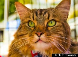 Hank the Cat, wearing one of his trademark ties, garnered enough write-in votes to place third in his race to fill the U.S. Senate seat being vacated by Jim Webb (D).
