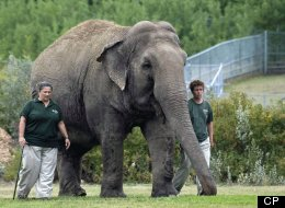 Lucy the elephant at the Edmonton Zoo. Toronto city council passed a motion telling Edmonton to let go of Lucy the elephant. (CP)