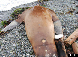 A sea lion was found shot and decapitated on a Campbell River, B.C. beach earlier this month. (Dept. of Fisheries and Oceans)
