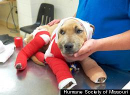 Trooper is a 5-month-old pitbull puppy who was dragged down Highway 55 in Missouri after being tied to a truck. (Facebook)