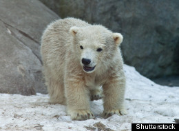 Three polar bear cubs have died at the Toronto Zoo. (Shutterstock file photo)
