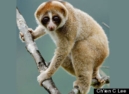 The newly discovered slow loris primate (Nycticebus kayan) has a furry